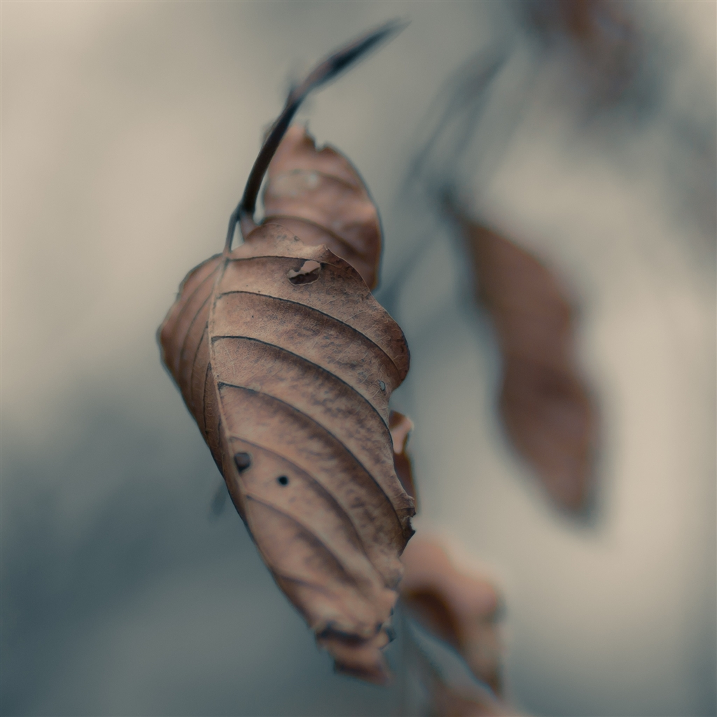 Dried-Leaf-Macro-ipad-4-wallpaper-ilikewallpaper_com_1024