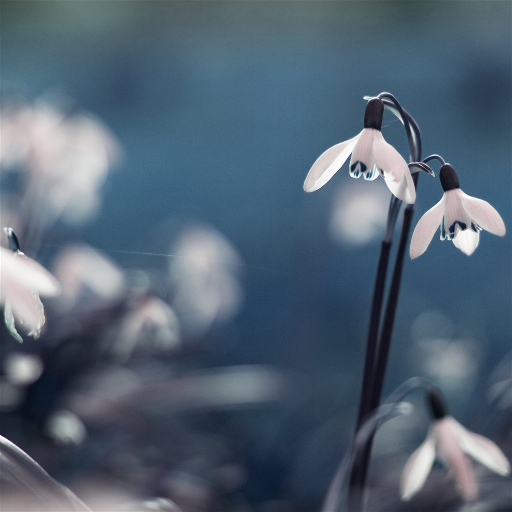 Opened-snowdrops-ipad-4-wallpaper-ilikewallpaper_com_1024