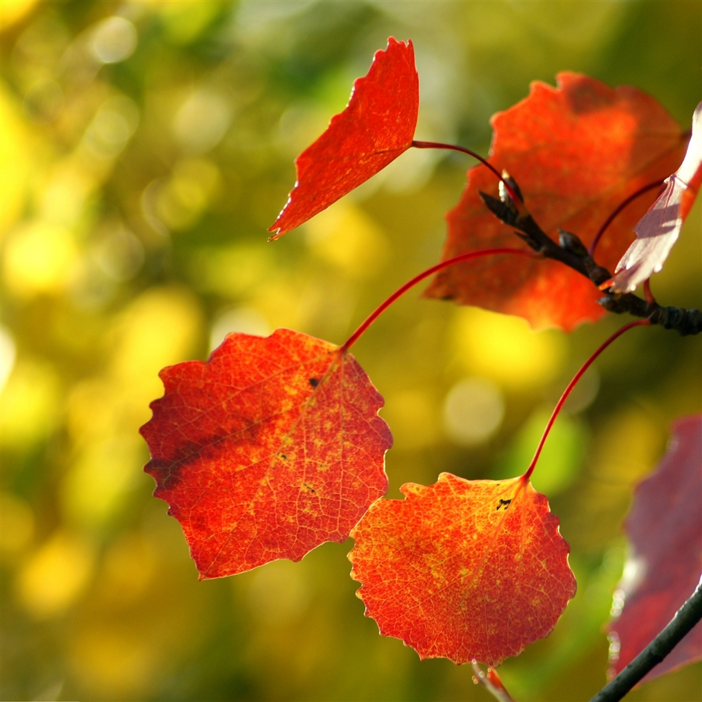 Red-Autumn-leaves-ipad-4-wallpaper-ilikewallpaper_com_1024